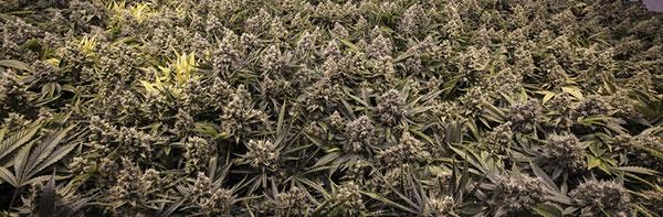 Cannabis floración