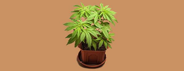 Cannabis híbrido vegetativo