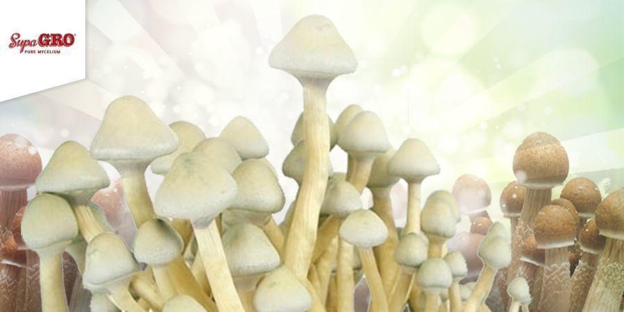 Cómo Cultivar Con Kits De Supa Grow 100% Mycelium