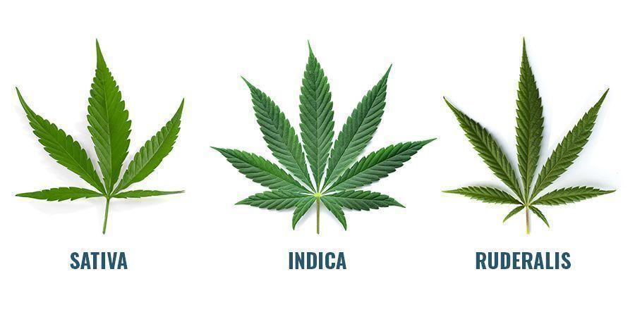 ¿De Dónde Salen Los Cannabinoides?