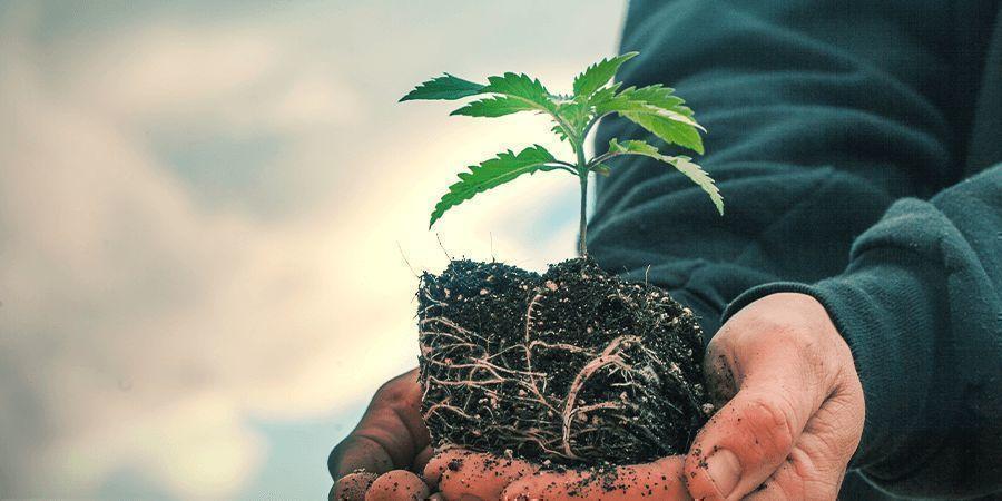Sativa Vs. Indica: Diferencia En El Crecimiento