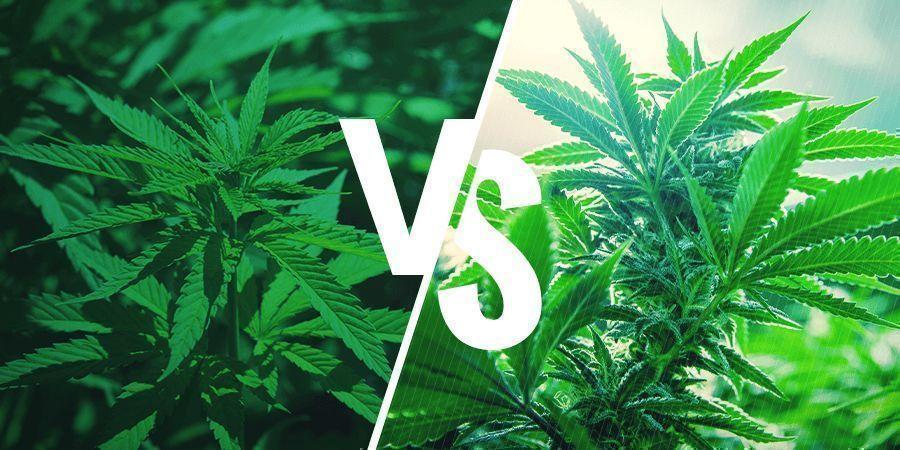 Sativa vs. Indica: Efectos