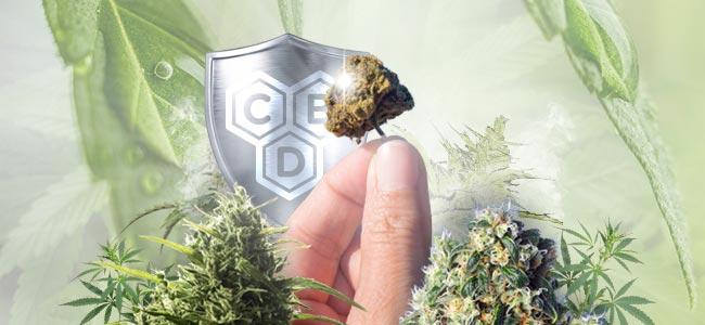 Cepas De Cannabis Rico En CBD