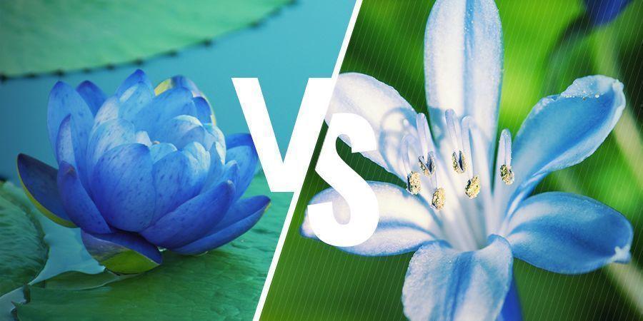 Loto Azul: Plantas Relacionadas