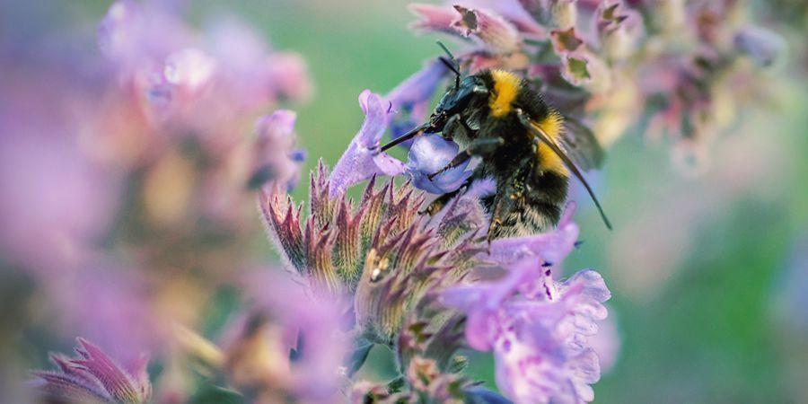 Catnip Actúa Como Repelente Natural De Insectos