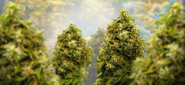 Cannabis: Etapa De Floración