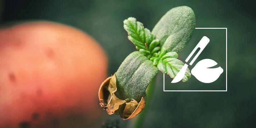 Cómo Germinar Semillas Viejas De Cannabis