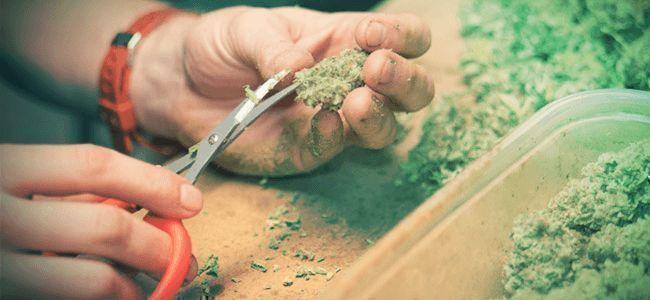 Cosecha De Cannabis: Manicura Y Secado