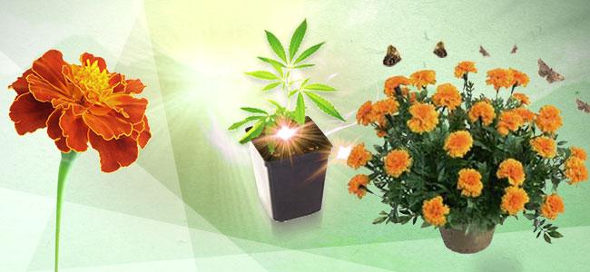 Cultivos Asociados Para La Marihuana: Caléndulas