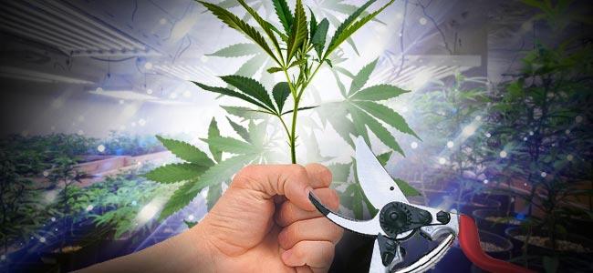 Eesquejes De Marihuana