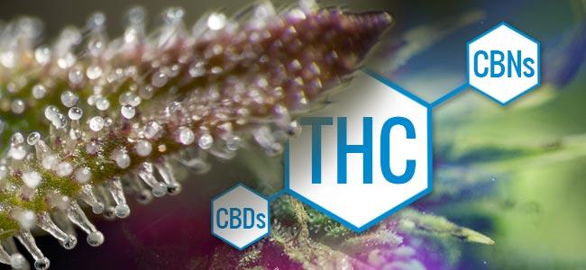 Tricomas: Cambios En La Química De La Marihuana