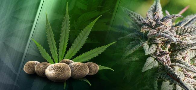 Semillas De Cannabis Regulares