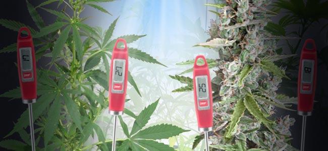 La Temperatura Óptima Para Cultivar Marihuana