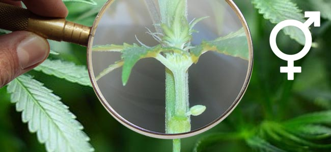 Plantas De Cannabis Hermafroditas