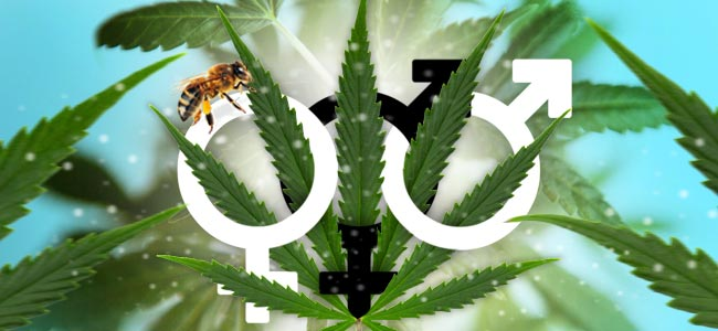 Conocer El Sexo De Tus Plantas De Cannabis
