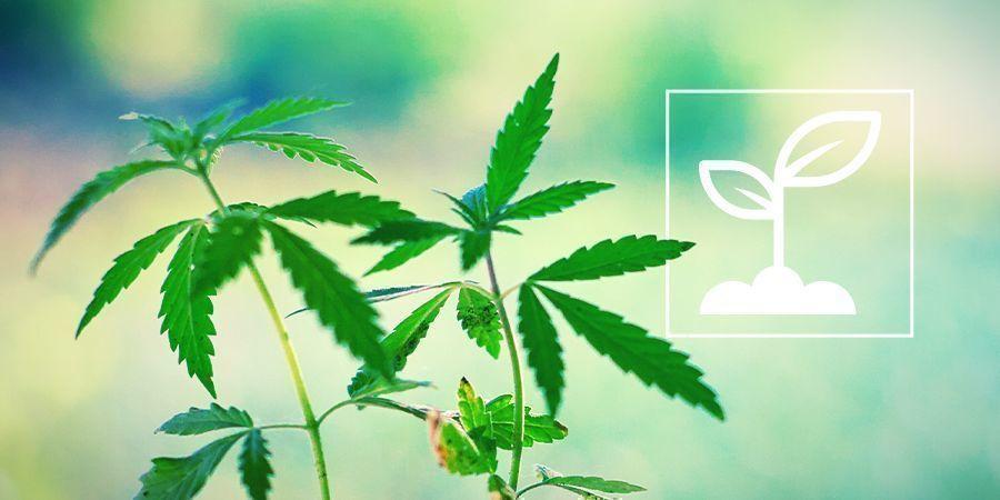 ¿Qué son las plántulas de marihuana?