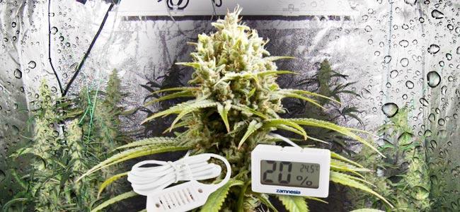 La Humedad En El Espacio De Cultivo De Marihuana