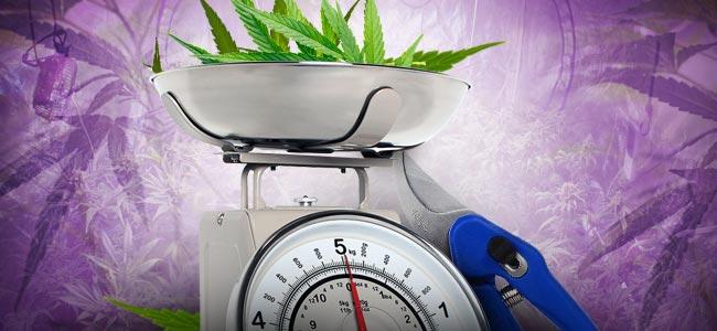 Defoliación Del Cannabis: CUÁNTO ES DEMASIADO