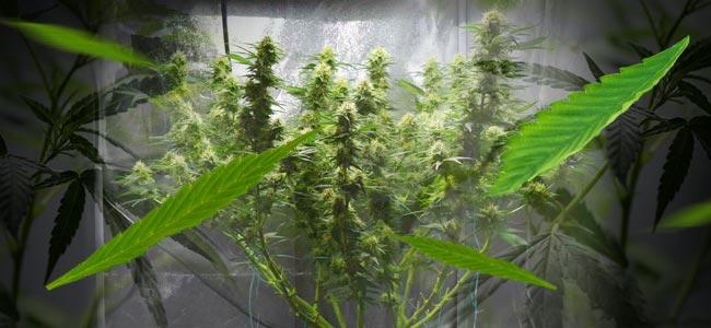 Las técnicas de defoliación aumentan las cosechas de cannabis