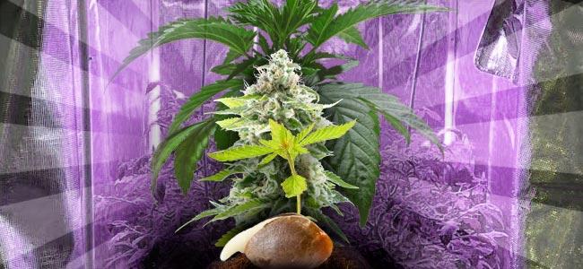 Cómo Cultivar Marihuana En Interior