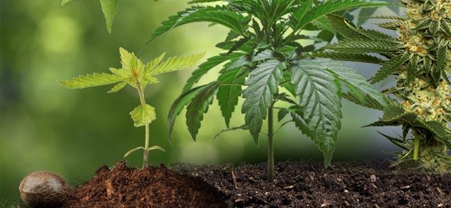 El Ciclo De Vida Del Cannabis