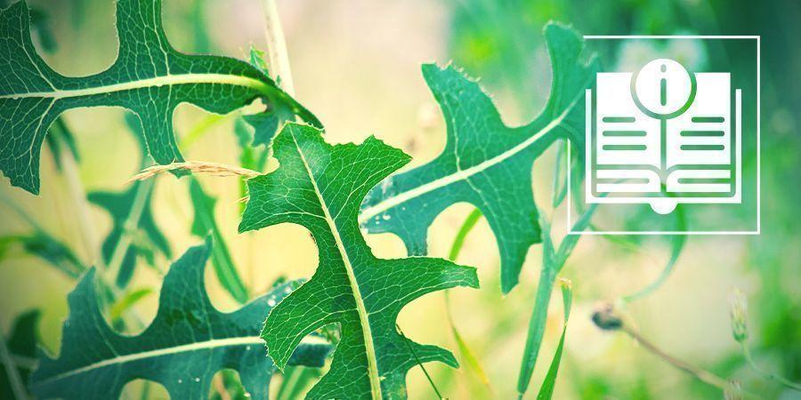 Todo Lo Que Necesitas Saber Sobre La Lechuga Silvestre