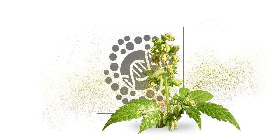 Polen De Cannabis