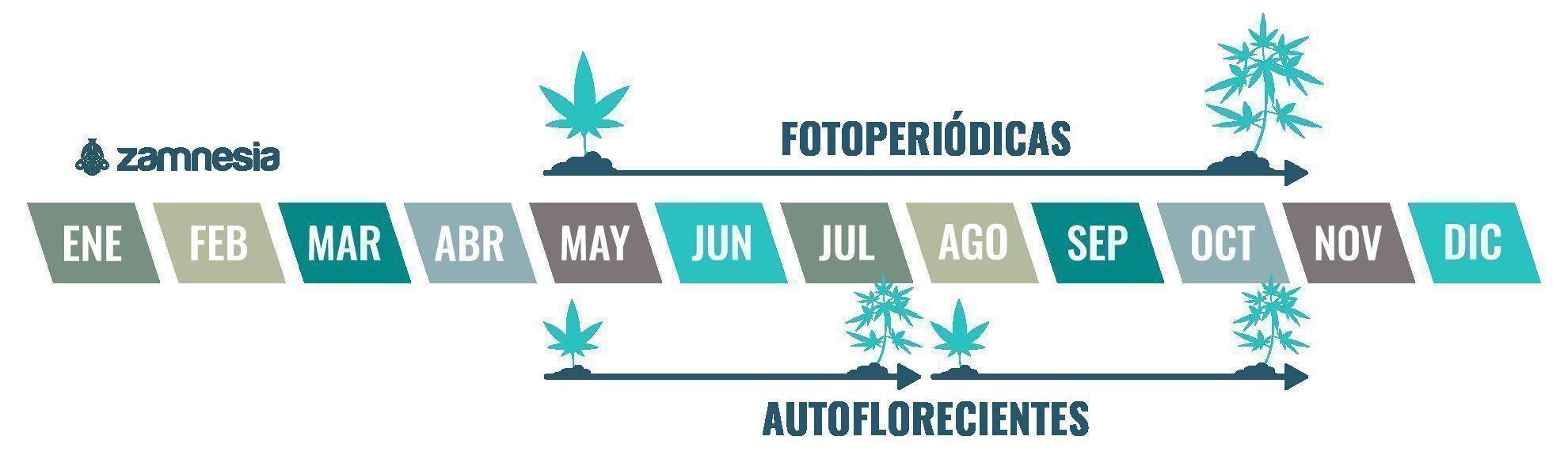 El cannabis es una planta anual