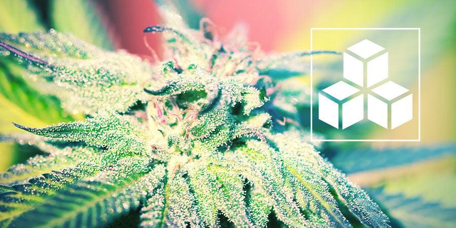 El Rol del Azúcar En Las Plantas De Marihuana