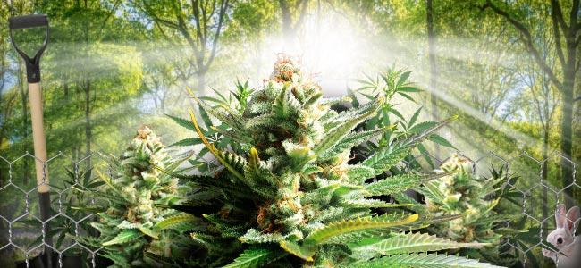 Cultivo De Guerrilla De Plantas De Cannabis