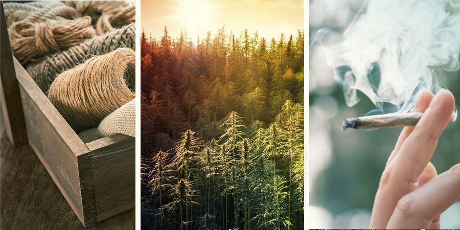 La Diferencia Entre Cáñamo, Cannabis Y Marihuana