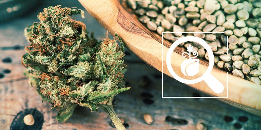 Buscador De Semillas De Marihuana: Elige Las Mejores Semillas