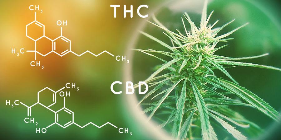 Buscador De Semillas De Marihuana: Contenido De Cannabinoides
