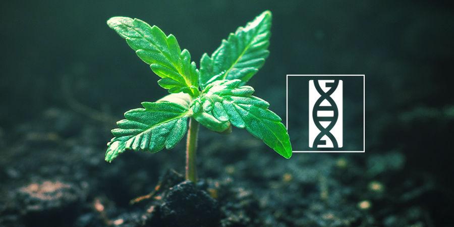 Buscador De Semillas De Marihuana: Genética De Las Semillas De Marihuana
