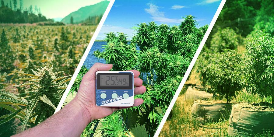 Buscador De Semillas De Marihuana: Clima