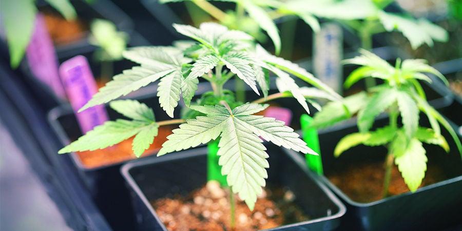 Buscador De Semillas De Marihuana: Espacio De Cultivo