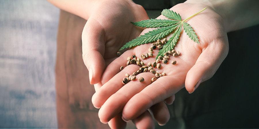 Cómo Encontrar Las Semillas De Marihuana Adecuadas