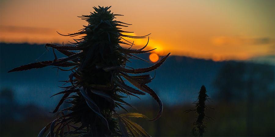 Buscador De Semillas De Marihuana: Tamaño De La Planta