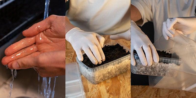 Kit Cultivo Hongos Copelandia Hawaiian preparación