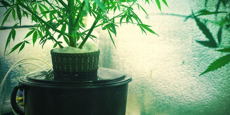 ¿Qué es el cultivo de cannabis hidropónico?