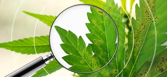 Cómo Identificar Plantas De Marihuana Enfermas
