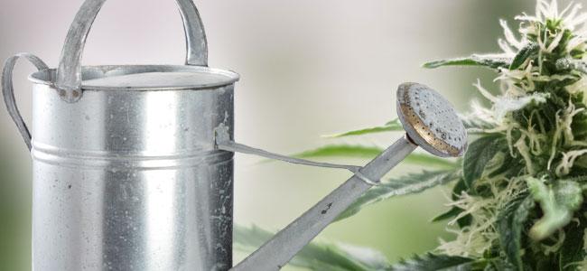 Cómo Regar La Marihuana Durante Su Floración
