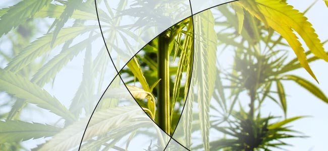 Clivaje De Tallos De Cannabis