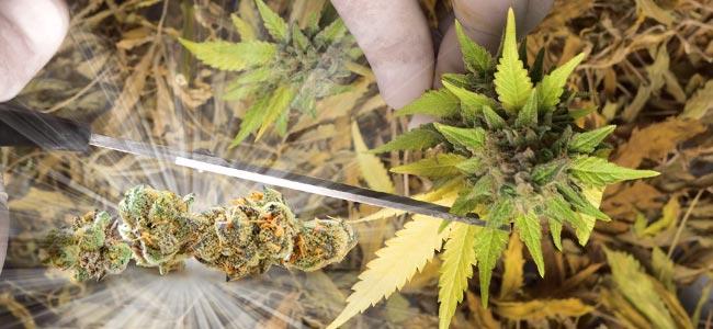 Manicura Cannabis