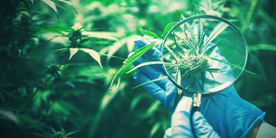 Preservación De La Genética Del Cannabis Deseable