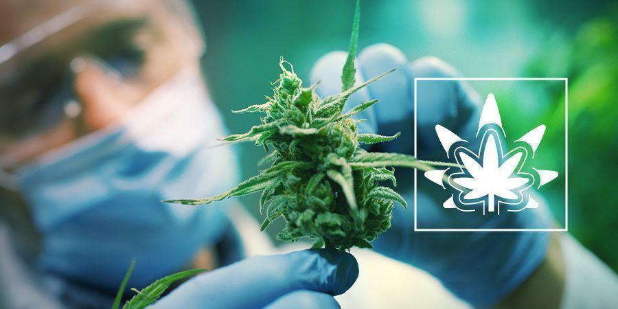 Regeneración De Las Plantas De Cannabis