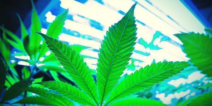 ¿Cómo Funciona La Regeneración Del Cannabis?