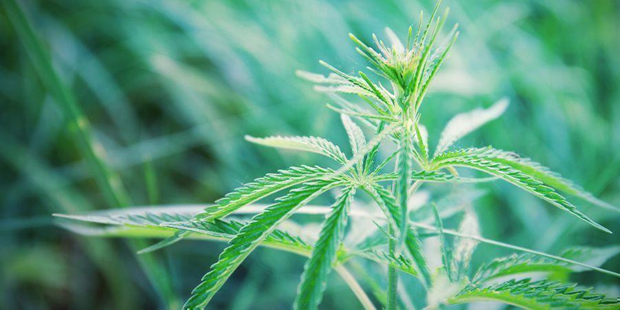 Cómo Regenerar Plantas De Marihuana