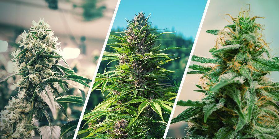 Regeneración De Cannabis: Pros Y Contras De La Regeneración Del Cannabis