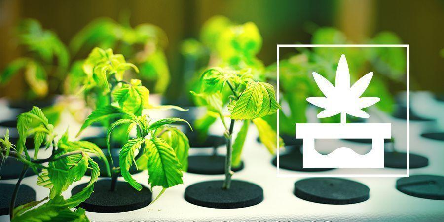 Cultivo De Marihuana Con Hidroponía Avanzada